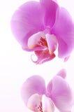 Orquídea cor-de-rosa Imagens de Stock