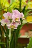 Orquídea cor-de-rosa Imagem de Stock Royalty Free