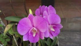 Orquídea cor-de-rosa Fotografia de Stock Royalty Free