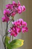 Orquídea cor-de-rosa bonita Fotografia de Stock