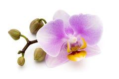 Orquídea cor-de-rosa bonita no fundo branco Fotos de Stock