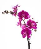 Orquídea cor-de-rosa colorida Fotografia de Stock Royalty Free