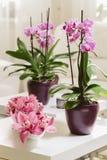Orquídea cor-de-rosa crescente com o arrangment das pétalas no interior Imagem de Stock Royalty Free