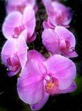 Orquídea cor-de-rosa da flor Fotografia de Stock Royalty Free