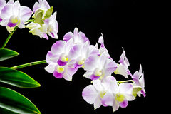 Orquídea cor-de-rosa de Dendroblum de Tailândia Imagens de Stock Royalty Free