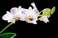 Orquídea cor-de-rosa do Dendrobium de Tailândia Fotos de Stock