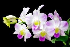 Orquídea cor-de-rosa do Dendrobium de Tailândia Fotografia de Stock Royalty Free