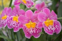 Orquídea cor-de-rosa do Miltonia da morango Imagens de Stock Royalty Free