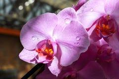 A orquídea cor-de-rosa do Phalaenopsis com watter deixa cair nas folhas da flor Fotografia de Stock Royalty Free