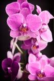 Orquídea cor-de-rosa em um fundo preto - 2 Imagens de Stock Royalty Free