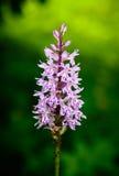 Orquídea cor-de-rosa em um fundo verde Fotografia de Stock Royalty Free