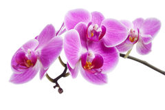 Orquídea cor-de-rosa isolada Foto de Stock Royalty Free
