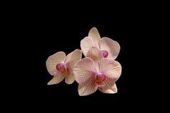 Orquídea cor-de-rosa isolada Fotografia de Stock Royalty Free