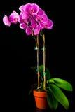 Orquídea cor-de-rosa isolada contra o preto fotografia de stock