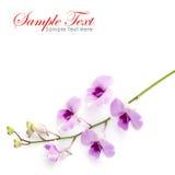 Orquídea cor-de-rosa isolada em um fundo branco Fotos de Stock Royalty Free