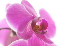 Orquídea cor-de-rosa Fotos de Stock Royalty Free