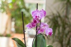 Orquídea cor-de-rosa que cresce no interior Imagens de Stock Royalty Free