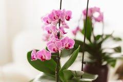 Orquídea cor-de-rosa que cresce no interior Fotografia de Stock Royalty Free