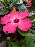 Orquídea cor-de-rosa que floresce na mola fotografia de stock