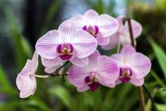 Orquídea cor-de-rosa, rainha das flores Foto de Stock