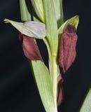 orquídea Corazón-florecida Imagenes de archivo