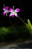 Orquídea cultivada rosa Imágenes de archivo libres de regalías