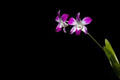 Orquídea cultivada rosa aislada Imagenes de archivo