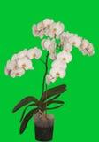 Orquídea da flor Fotografia de Stock Royalty Free
