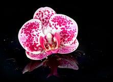 Orquídea da flor em gotas da água Foto de Stock Royalty Free