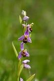 Orquídea de abeja Fotografía de archivo