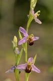 Orquídea de abeja Fotos de archivo libres de regalías