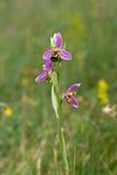 Orquídea de abeja Imagenes de archivo