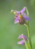 Orquídea de abeja Fotos de archivo