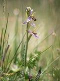 Orquídea de abeja Foto de archivo