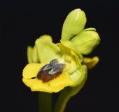 Orquídea de abeja amarilla Imagen de archivo libre de regalías