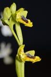 Orquídea de abeja amarilla Fotos de archivo