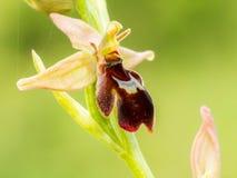 Orquídea de abeja de la araña de la fauna Fotografía de archivo