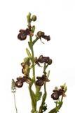 Orquídea de abeja del espejo - espéculo del Ophrys Imagenes de archivo