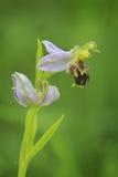 Orquídea de abeja en la floración Fotografía de archivo