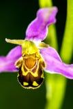 Orquídea de abeja en un prado Imagen de archivo