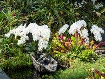 Orquídea de agua blanca en el jardín Imagenes de archivo