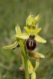 Orquídea de aranha adiantada, sphegodes do Ophrys Fotografia de Stock