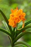 Orquídea de Ascocentrum Miniatum, anaranjada Imágenes de archivo libres de regalías