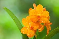 Orquídea de Ascocentrum Miniatum, anaranjada Imagen de archivo libre de regalías