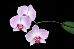 Orquídea de borboleta Fotos de Stock Royalty Free