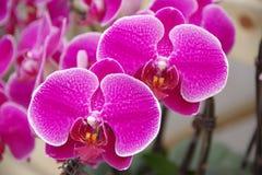 Orquídea de borboleta Foto de Stock Royalty Free
