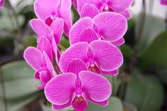 Orquídea de borboleta Imagem de Stock Royalty Free