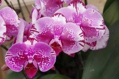 Orquídea de borboleta Foto de Stock