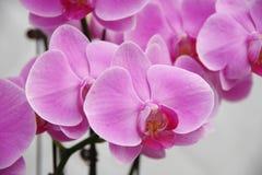 Orquídea de borboleta Fotos de Stock