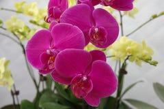 Orquídea de borboleta Imagens de Stock